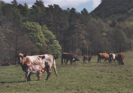 May 02, Some of the cattle in Sluggan