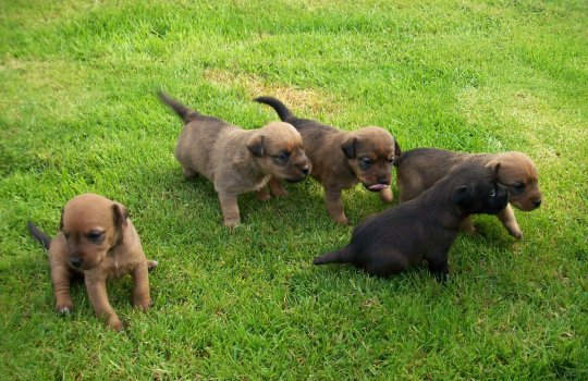 2008, The second litter of pups from Jess