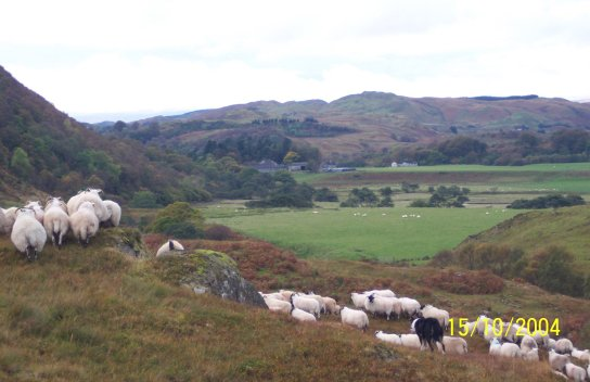 October 04, The sheep being gathered from the hill