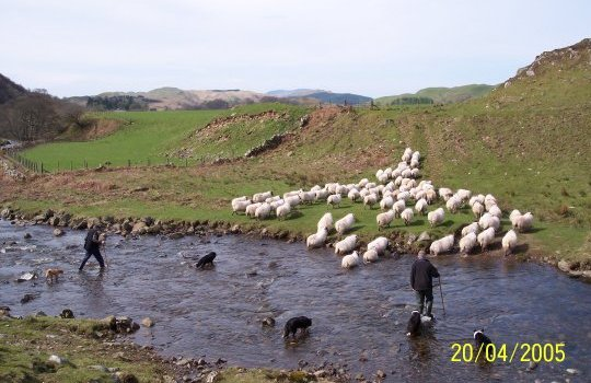 April 05, The sheep being gathered from the hill